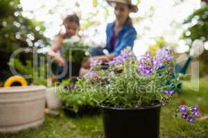 Purple flowering plants with mother and daughter in background