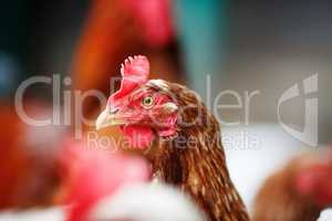 Hen in henhouse