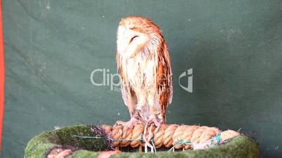 Average owl asleep, Bleary-eyed owl