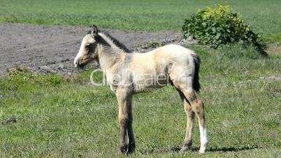 Free colt in the countryside, wildlife