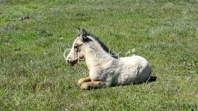 Free colt lying in the countryside, wildlife