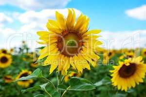 Blossoming sunflower
