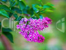 Bright blooming lilac