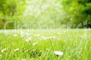 Sunny Spring Grass Meadow, Daisy Flowers