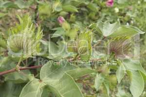 Cotton plant, cotton buds