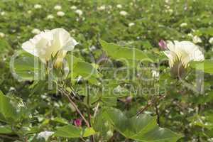 Cotton flower, cotton plant, cotton bud