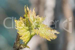 Sprout of Vitis vinifera, grape vine