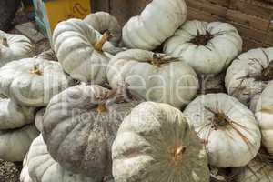 White pumpkings wonder