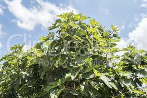 Fig tree with blue sky and white clouds background