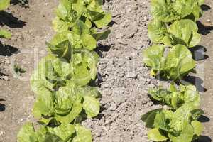 Lettuce in the orchard