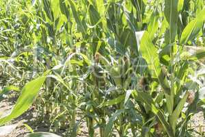 Corn field with unripe cobs in the stalk