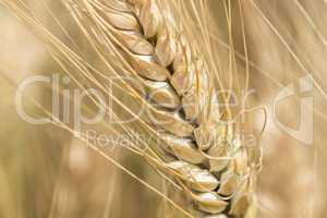 Harvest of ripe wheat, golden spike