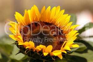 Sunflower, Helianthus annuus, with honeybees