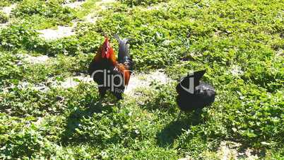 Rooster and hen pecking on a meadow