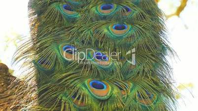 Peacock male in a tree