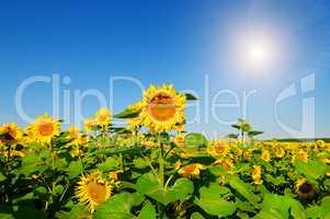 Sunflower flower fieldand blue sky