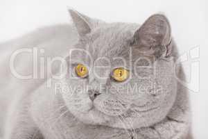 Katzenkopf britisch Kurzhaar