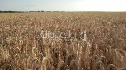 Yellow spikes of wheat ready for harvest in field