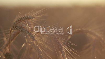 Ripened spikes of golden wheat in sunset light