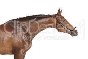 Pferd gestreckter hals freigestellt