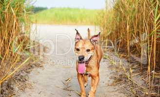 red American pit bull terrier