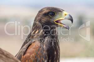 Golden eagle resting in the sun with open beak