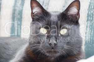 Head of black cat resting