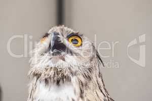 Eurasian Eagle-Owl with open beak, Bubo bubo