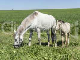 Mare with her foal in the field