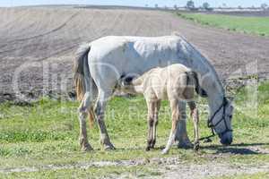 Foal suckling his mother grazing