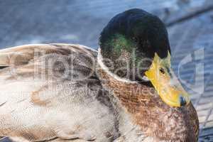 Mallard, Wilkd duck,in a park. Anade Real o azulón.
