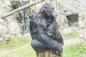 Chimpanzee, Pan troglodytes, Pan paniscus