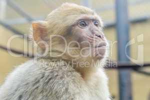 Macaca sylvanus, Barbary macaque