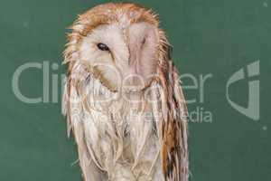 Average owl asleep