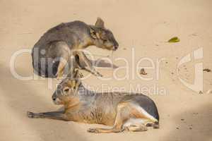 Two Mara resting on the sand, Dolichotis patagona