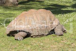 Giant turtle eating grass, Tortoise Aldabra giant