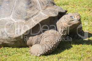 Giant tortoise basking in the sun, Tortoise Aldabra giant