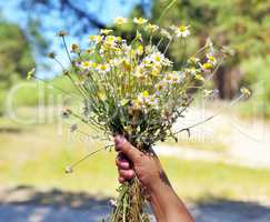 Female hand holds a bouquet of white daisies