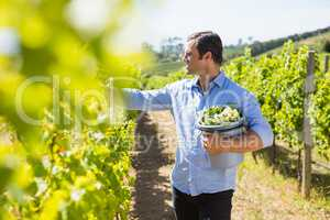 Happy vintner harvesting grapes in vineyard