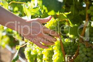 Close-up of female vintner harvesting grapes