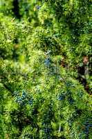 Wacholderbeeren am Baum, reif unfd unreif