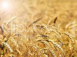 Ears of ripe yellow wheat
