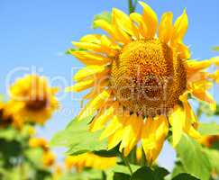 Blooming sunflower in the field against the sky