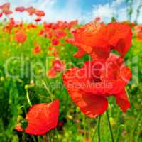 Field with scarlet poppies.