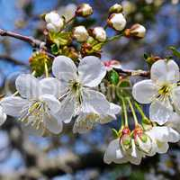 Blossoming cherry against the blue sky