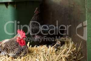 Hen and chicken sitting on straw