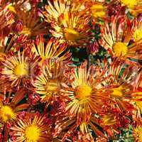 background of blooming chrysanthemums in the flowerbed