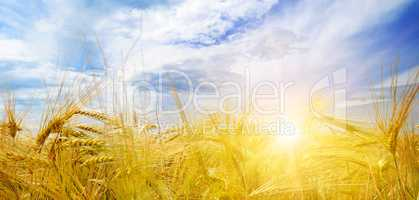 wheat field and sun in blue sky