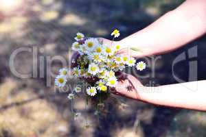 Bouquet of white field chamomiles in female hand