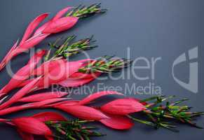 Blooming branch of bilbergia with red flowers